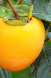Four Recipes to Turn Pesky Persimmons into Delicious Dishes