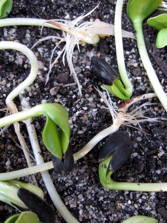 Kindergarten Holidays & Seasons Activities: Growing Sunflower Sprouts