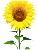 Plant sunflower seeds , measure height, calculate average height, compare size and weight of heads. Interpret findings in detailed report.