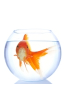 Hypothesize goldfish ability to display long term memory based on your experience training the fish. Evaluate the abilities of goldfish to succeed at tasks.