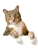 Determine whether cats have dominant paws. Observe which paw cat uses to reach for treats, feather, and string. Calculate percentage for two paws.