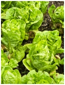Science fair project that determines whether lettuce that is harvested gradually yields more produce than lettuce that is harvested all at once.