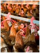 Describe the lives of commercially raised chickens. Contact local chicken farmers for information and advice. Write a detailed report about farming techniques.