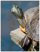 Do you know the difference between turtles, tortoises, and terrapins? Try and differentiate them in this science fair project.
