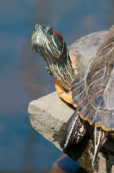 Middle School Science Science Projects: What Are the Anatomical Differences Between Turtles, Tortoises, and Terrapins?