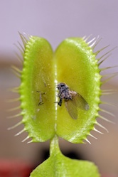 High School Science Science projects: How Do Carnivorous Plants Digest Insects?