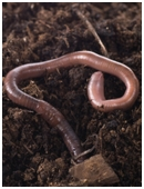 Wiggly worms are known for staying buried in the soil, but how does that affect plants? Are earthworms and plant growth related?