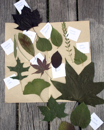 Fourth Grade Science Science Projects: Shapes of Leaves