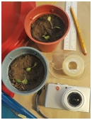 What are the effects of colored light on plant growth? Explore plant behavior in this cool botany science fair project and learn about phototropism!