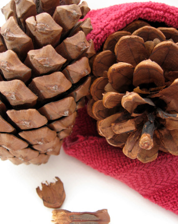Third Grade Science Science projects: Gymnosperms: Pine Cone Experiment