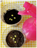 This science fair project looks one of the most important factors affecting seed germination: water. A fun and easy plant biology experiment for 3rd graders.