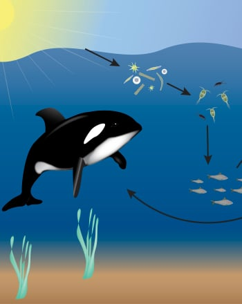 Fourth Grade Science Science projects: Ocean Food Web
