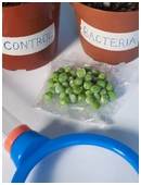 In science fair projects, middle school students discover why nitrogen fixing bacteria are important to plant growth.