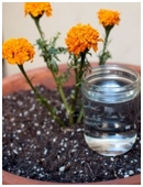 The objective of this science fair project is to examine the effects of acid rain on the growth of marigold plants.