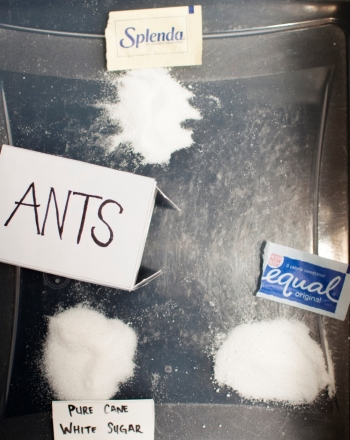 Middle School Science Science Projects: What Do Ants Like Best:  Artificial or Cane Sugars?