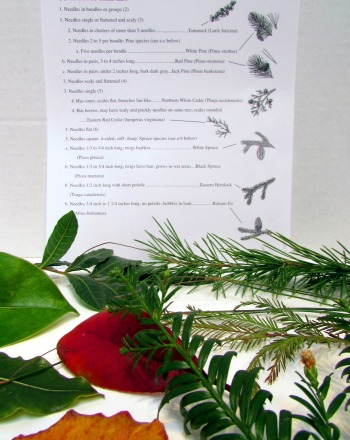 Fourth Grade Science Science projects: Using A Dichotomous Key To Identify Trees