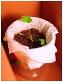 Learn about the effect of artificial light on plant growth versus natural sunlight and delve into some biology and botany concepts in this science project.