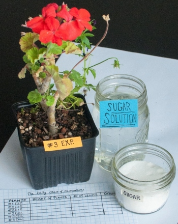 Middle School Science Science Projects: Water the Plants! Add Sugar? Would Adding Sugar to the Water Increase the Growth of Plants?