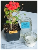 Get a cool science fair project idea for middle schoolers on the effect of adding sugar to the growth of green plants.