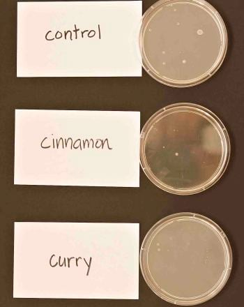 Middle School Science Science Projects: Ability of Curry and Cinnamon to Inhibit Bacterial Growth