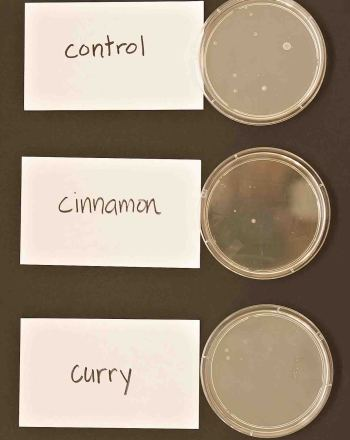 High School Science Science projects: Ability of Curry and Cinnamon to Inhibit Bacterial Growth