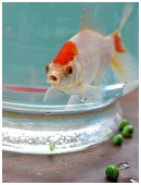 Explore if a diet of crushed peas can cure Swim Bladder's Disease in Goldfish.