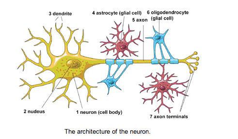 edible neuron diagram science project education com Neuron Diagram Labeled credit national institutes of health