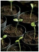 This science fair project idea quantifies growth of seedlings at various pH levels.