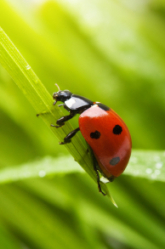 Fourth Grade Science Science projects: Where Did the Ladybug Get Her Spots?