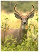 This science project challenges students to study deer behavior in their natural habitat- the feeding patterns, social behaviors, male to female ratio, etc.