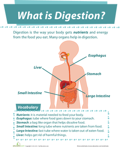 All About the Digestive System | Lesson Plan | Education com
