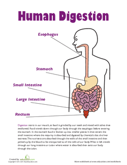 All About The Digestive System Lesson Plan Educationcom