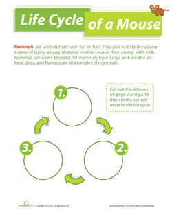 Life Cycle of a Mouse