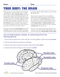 Your Body: The Brain