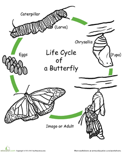 Color the Life Cycle: Butterfly