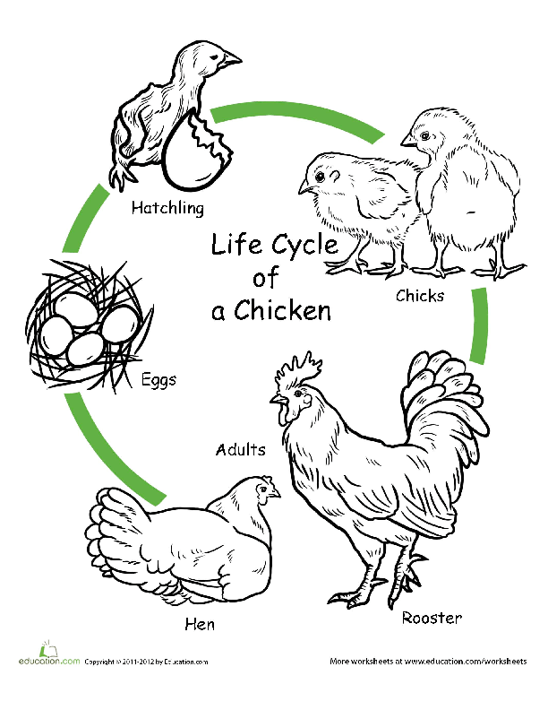 the life cycle of a chicken art project
