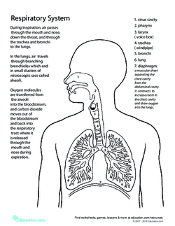 Breathe in breathe out the respiratory system lesson plan tell your students that today they will learn about the respiratory system ccuart Gallery