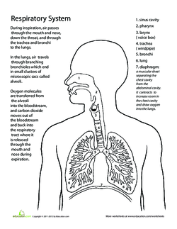 Breathe in breathe out the respiratory system lesson plan tell your students that today they will learn about the respiratory system ccuart Choice Image