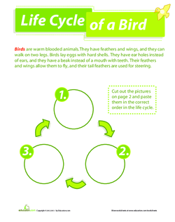 Life Cycle of a Bird