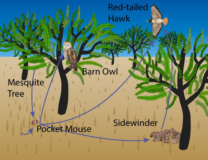 Desert Food Web