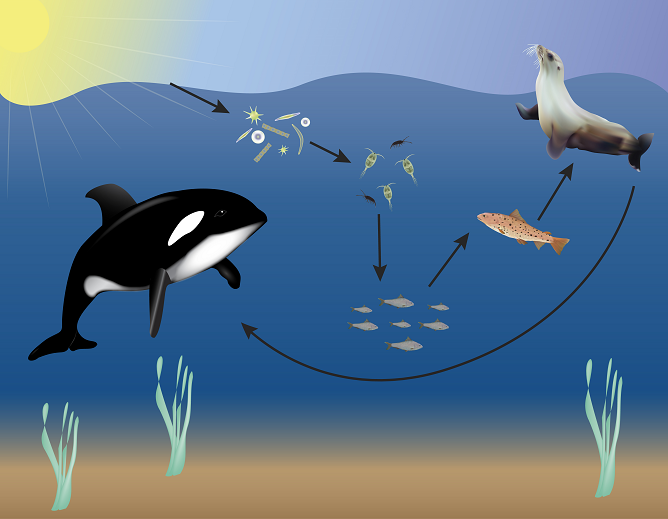 Ocean Food Web Diagram