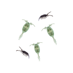 Ocean Food Web Copepods