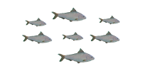 Ocean Food Web Herring