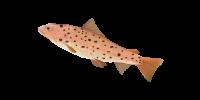 Ocean Food Web Salmon