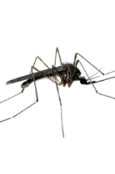 Middle School Science Science projects: Effect of Food On Mosquito Growth