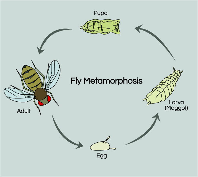 Fruit Fly Life Cycle