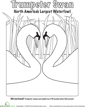 Kindergarten Coloring Worksheets: Trumpeter Swan Coloring Page