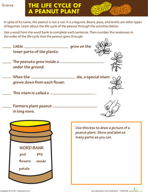 Third Grade Science Worksheets: The Life Cycle of a Peanut Plant