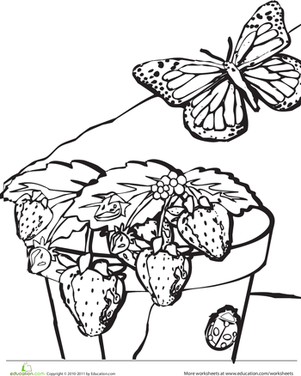 Kindergarten Holidays & Seasons Worksheets: Strawberry Plant Coloring Page