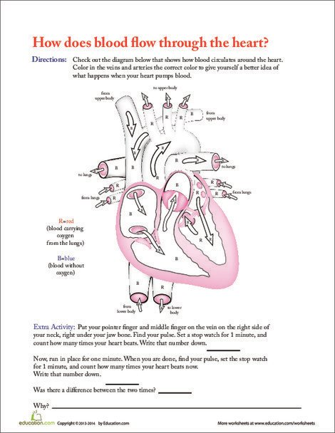 Fifth Grade Science Worksheets: How Does Blood Flow Through the Heart?